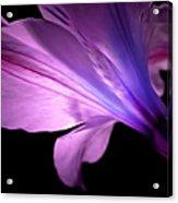 Amaryllis Glow Acrylic Print