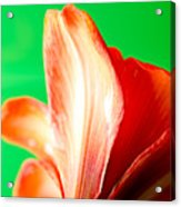 Amaryllis Head Pt Orange Amaryllis Flower On Green Background Acrylic Print