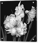 Amaryllis In Black And White Acrylic Print