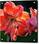 Amaryllis In February 5472 Acrylic Print