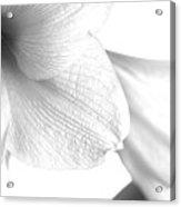 Amaryllis In White Acrylic Print