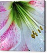 Amaryllis - Lily Acrylic Print