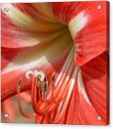 Amaryllis Macro Acrylic Print