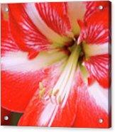 Amaryllis Red Acrylic Print