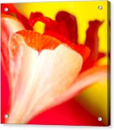 Amaryllis Shadow Abstract Flower With Shadow On Red And Yellow Acrylic Print