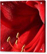 Amaryllis6709 Acrylic Print