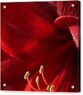 Amaryllis6790 Acrylic Print