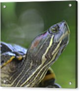 Amazing Close-up Painted Turtle Resting Acrylic Print