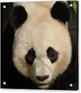 Amazing Face Of A Beautiful Giant Panda Bear Acrylic Print