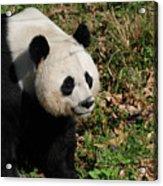 Amazing Giant Panda Bear Sitting In A Grass Field Acrylic Print
