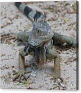 Amazing Iguana With A Striped Tail On A Beach Acrylic Print