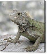 Amazing Posing Gray Iguana Perched On A Log Acrylic Print