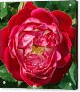 Amazing Rose  Acrylic Print