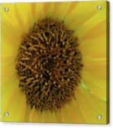 Unique Sunflower Acrylic Print