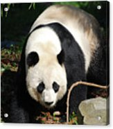 Amazing Sweet Chinese Giant Panda Bear Walking Around Acrylic Print