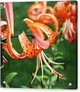 Amazing Tiger Lily Acrylic Print