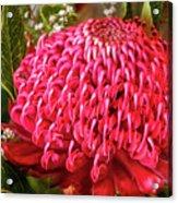 Amazing Waratah Flower Acrylic Print