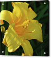 Amazing Yellow Lily Flowering In A Garden Acrylic Print