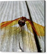 Amber Dragonfly Acrylic Print