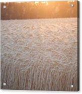 Amber Waves Of Grain Acrylic Print