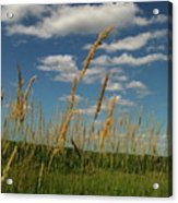 Amber Waves Of Grain Acrylic Print