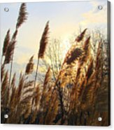 Amber Waves Of Pampas Grass Acrylic Print