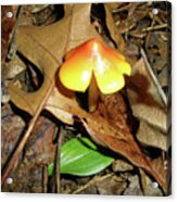 Amberina Mushroom - Tiny Jewel In The Forest Acrylic Print
