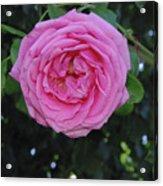 America Climbing Rose Acrylic Print