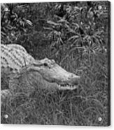 American Alligator 2 Bw Acrylic Print
