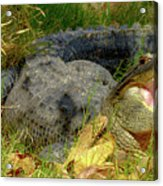American Alligator Arizona Chapter Acrylic Print