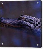 American Alligator Sleeping Acrylic Print