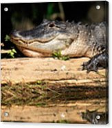 American Alligator Suns Itself Acrylic Print