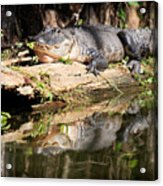 American Alligator With Caterpillar Acrylic Print