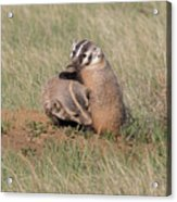 American Badger Cub Climbs On Its Mother Acrylic Print