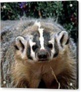 American Badger On Alert Acrylic Print