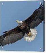 American Bald Eagle 2017-18 Acrylic Print