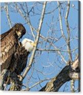 American Bald Eagle 2017-19 Acrylic Print