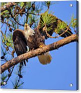 American Bald Eagle 3 Acrylic Print