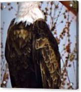 American Bald Eagle - Iowa Acrylic Print