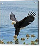 American Bald Eagle Sets Down On Fish Acrylic Print