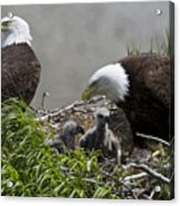 American Bald Eagles, Haliaeetus Acrylic Print