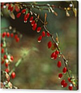 American Barberry With Raindrops Acrylic Print