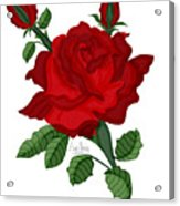 American Beauty Rose Acrylic Print