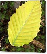 American Beech Leaf Acrylic Print