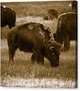 American Bison Grazing - Bw Acrylic Print