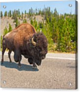 American Bison Sharing The Road In Yellowstone Acrylic Print