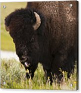 American Bison Tongue Acrylic Print