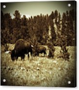 American Bison Vintage 2 Acrylic Print