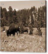 American Bison Vintage Acrylic Print