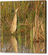 American Bittern Close To Shore Acrylic Print